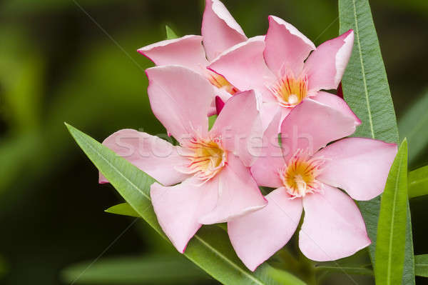 Nerium oleander, evergreen shrub or small tree in the dogbane fa Stock photo © AlessandroZocc