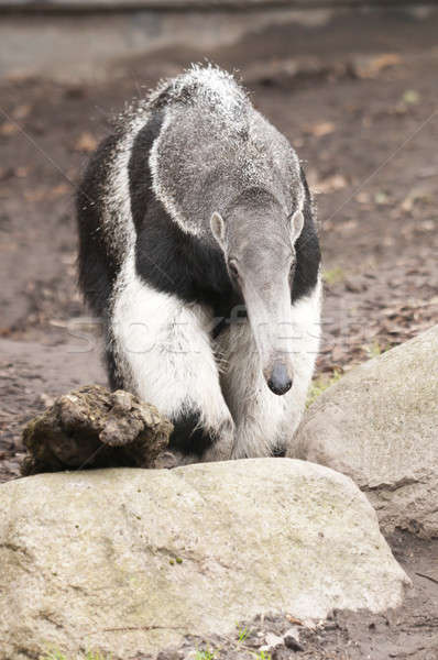 Giant Anteater, Myrmecophaga tridactyla, is the largest species  Stock photo © AlessandroZocc
