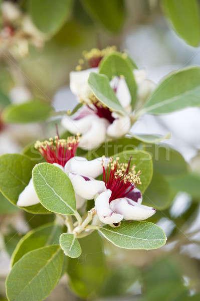 赤 白い花 ツリー 緑 オーバル 葉 ストックフォト © AlessandroZocc