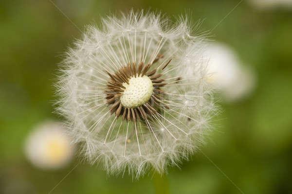 Close up of a dandelion, taraxacum, seeds  Stock photo © AlessandroZocc