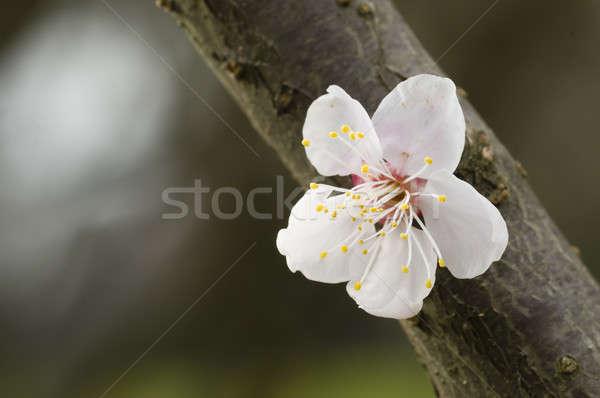 Japans kersenbloesem bloem voorjaar bloemen Stockfoto © AlessandroZocc