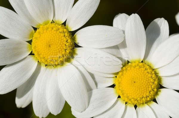 Sol primavera flor grama natureza Foto stock © AlessandroZocc