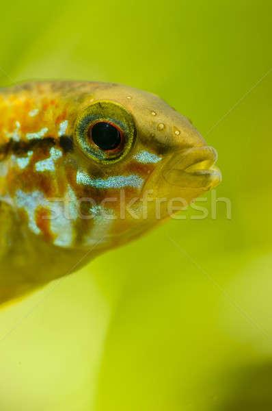 詳細 頭 魚 熱帯 男性 ストックフォト © AlessandroZocc