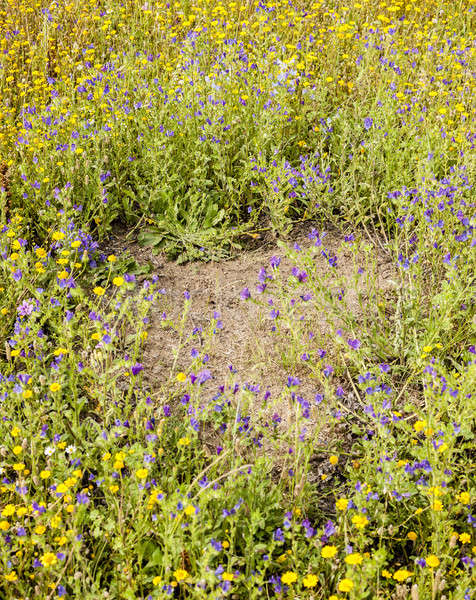 Clearing within yellow and blue flower meadow made by ants Stock photo © AlessandroZocc
