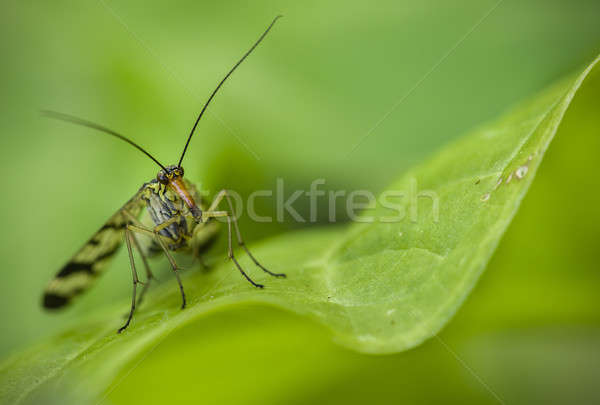 Long nose insect on green leaf Stock photo © AlessandroZocc