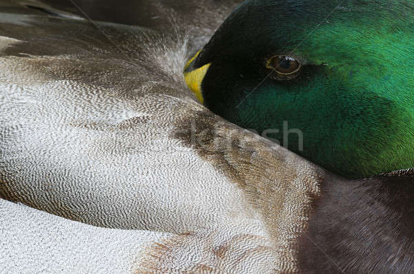 Close up of male Mallard duck  Stock photo © AlessandroZocc
