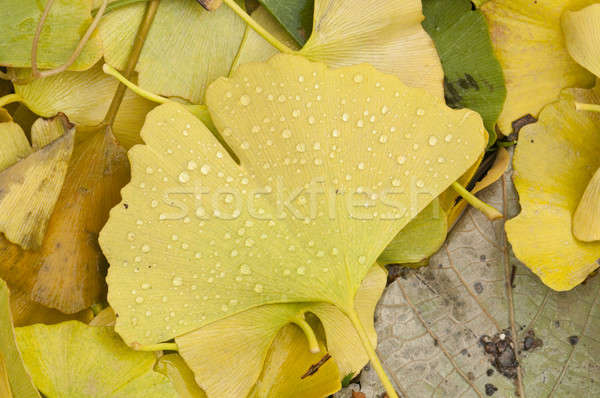 Detail of a fallen ginko leaf with rain drops Stock photo © AlessandroZocc