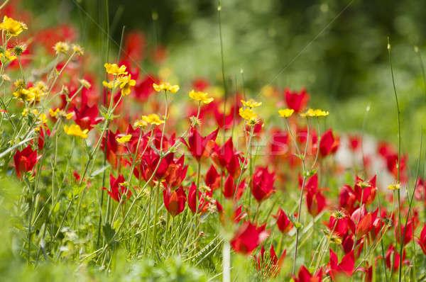 çiçek alan kırmızı sarı çiçek alan bahar bahçe Stok fotoğraf © AlessandroZocc