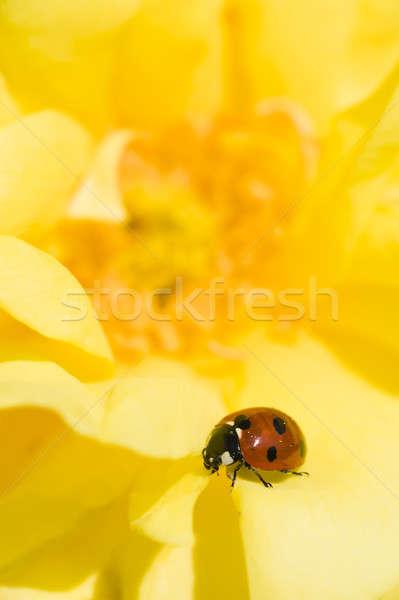 Joaninha rosa joaninha amarelo flor Foto stock © AlessandroZocc