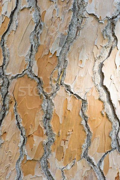 Részlet ugatás mediterrán fenyőfa textúra fa Stock fotó © AlessandroZocc
