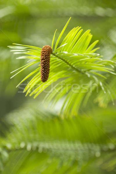 Kiefer jungen Frühling Natur leben Australien Stock foto © AlessandroZocc