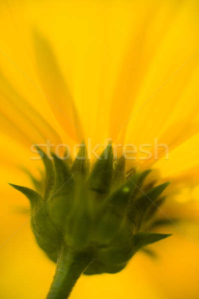 Jerusalem artichoke, topinambour flower detail Stock photo © AlessandroZocc