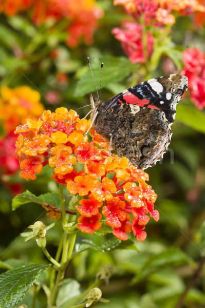 Red Admiral (Vanessa atalanta) colourful butterfly Stock photo © AlessandroZocc