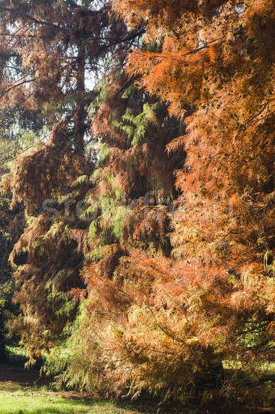 Taxodium distichum bald cypress Stock photo © AlessandroZocc