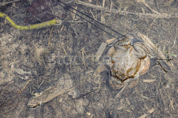 Mating toads camouflage Stock photo © AlessandroZocc