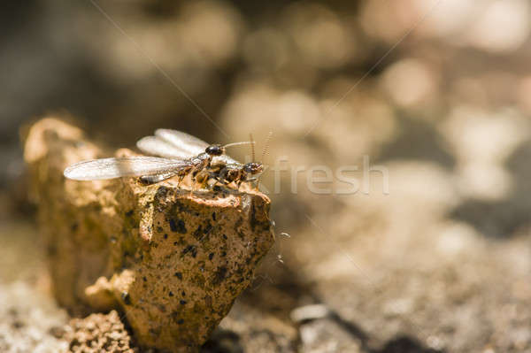 Winged individuals of termite Stock photo © AlessandroZocc