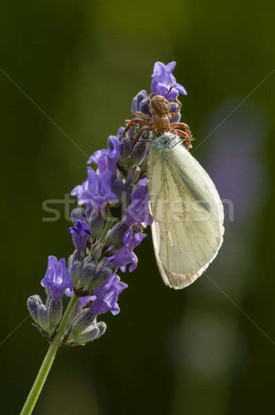 краба Spider цветок лаванды большой белый Сток-фото © AlessandroZocc