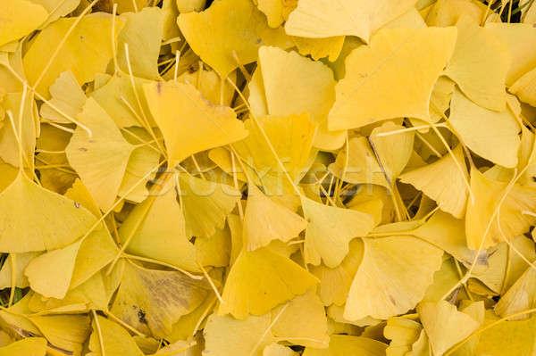 Ginko biloba leaves  Stock photo © AlessandroZocc