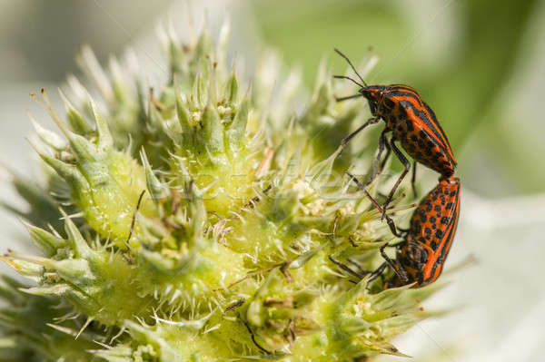 Mating of Graphosoma italicum coleopterons  Stock photo © AlessandroZocc