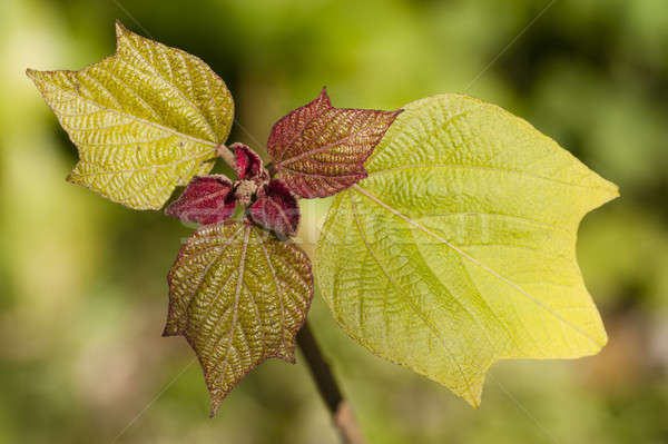 Oakleaf hydrangea young leaves  Stock photo © AlessandroZocc