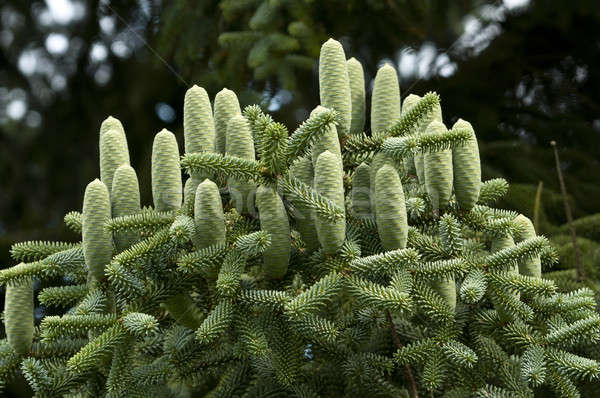 Group of green pine cones Stock photo © AlessandroZocc