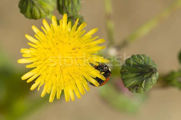 Коровка одуванчик желтый цветок лепестков весны саду Сток-фото © AlessandroZocc