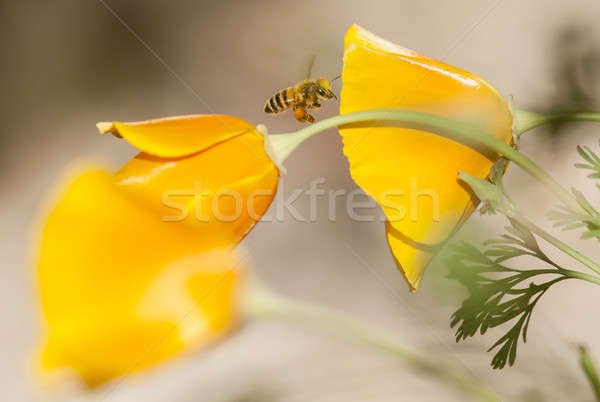 Honey bee flying on Eschscholzia californica, yellow and orange  Stock photo © AlessandroZocc