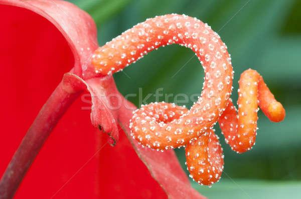 Anturium flower detail of pistil Stock photo © AlessandroZocc