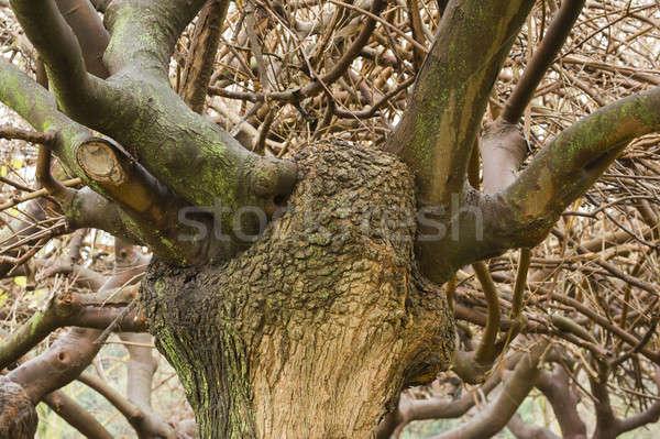 большой зима дерево древесины Сток-фото © AlessandroZocc