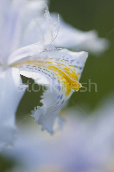 Detail of petals of an Iris flower Stock photo © AlessandroZocc