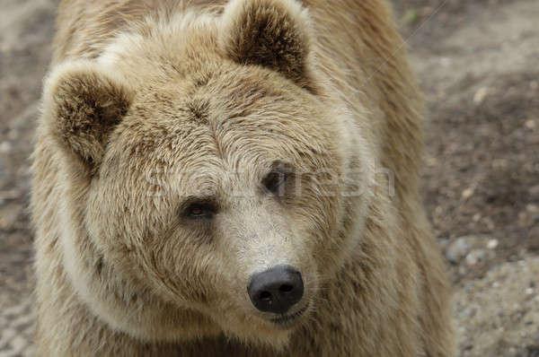 Female brown bear  Stock photo © AlessandroZocc