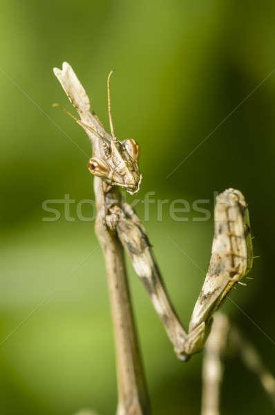 Conehead mantis, Empusa pennata Stock photo © AlessandroZocc