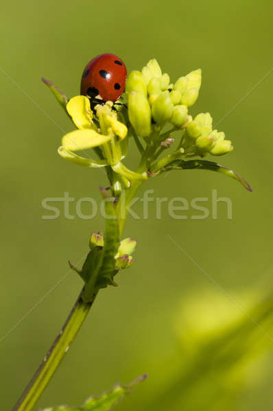 Ladybug on yellow flowers Stock photo © AlessandroZocc