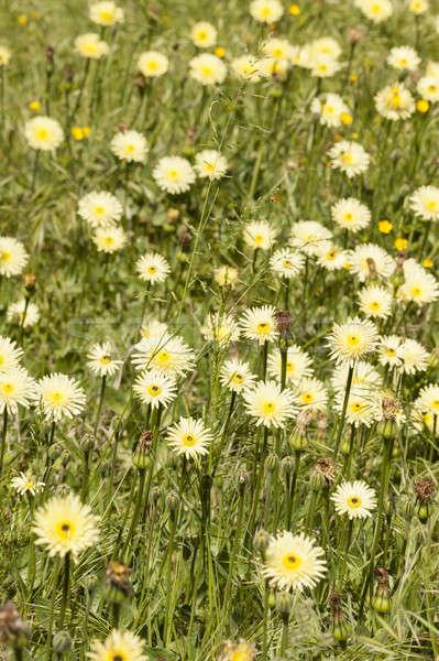 одуванчик желтые цветы полный цвести трава саду Сток-фото © AlessandroZocc