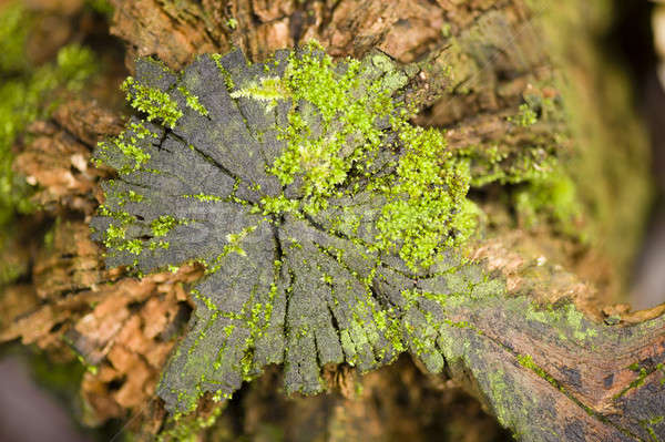 Green moss growing on a tree stump Stock photo © AlessandroZocc