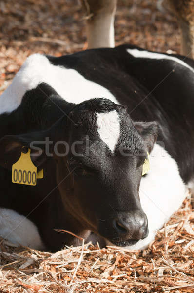 Young Dairy cattle (dairy cows) of the species Bos taurus. Stock photo © AlessandroZocc