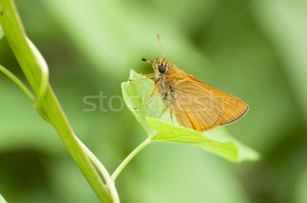 A skipper butterfly on a green leaf Stock photo © AlessandroZocc