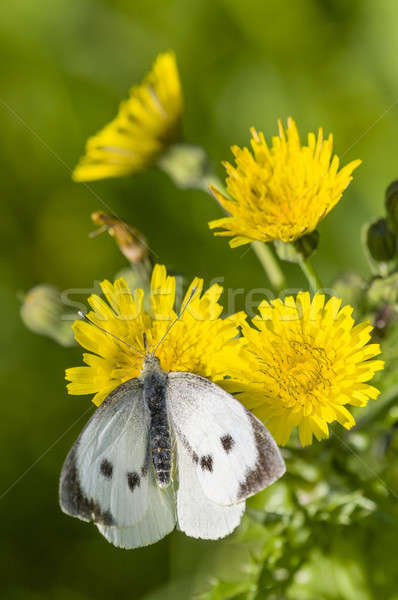 Large white butterfly on yellow flower Stock photo © AlessandroZocc