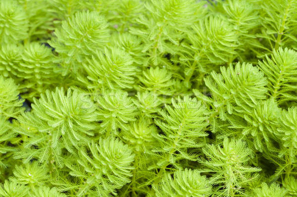 Myriophyllum, watermilfoil, freshwater aquatic plants. Stock photo © AlessandroZocc
