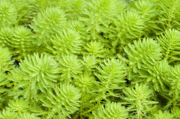 água doce aquático plantas folha verde lago Foto stock © AlessandroZocc