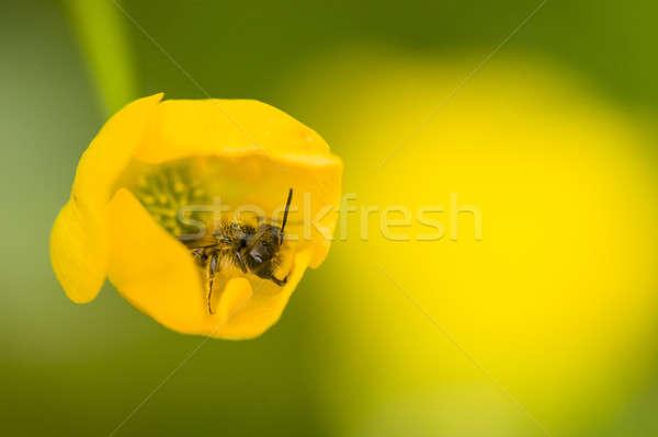Weinig wesp vliegen gele bloem stuifmeel natuur Stockfoto © AlessandroZocc