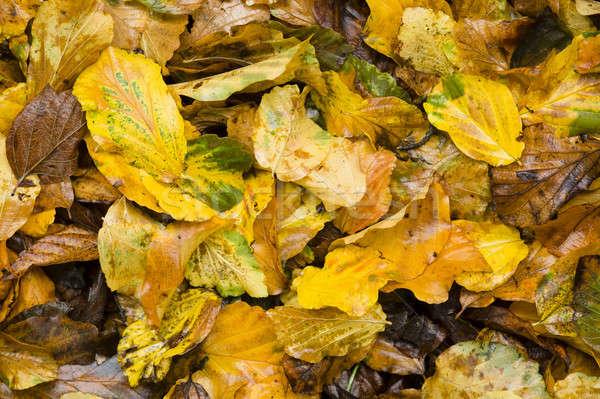 Geel bruin nat bladeren najaar Stockfoto © AlessandroZocc