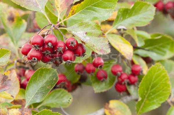 Red berries of ornamental bush Stock photo © AlessandroZocc