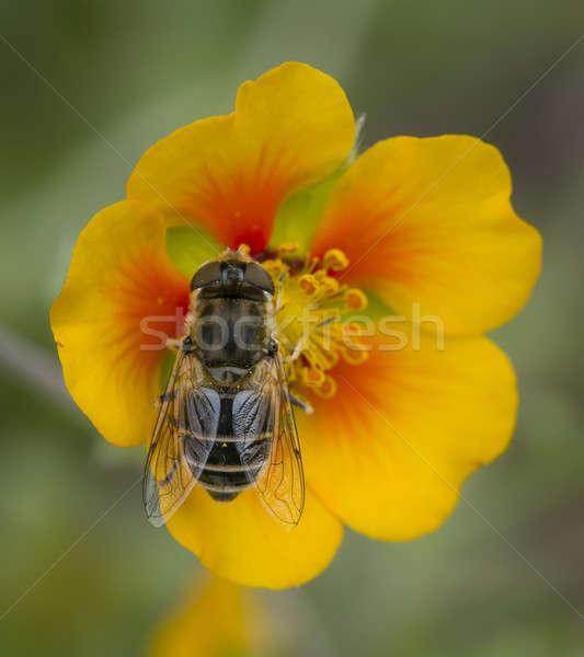 лет цветок желтый оранжевый лет Сток-фото © AlessandroZocc