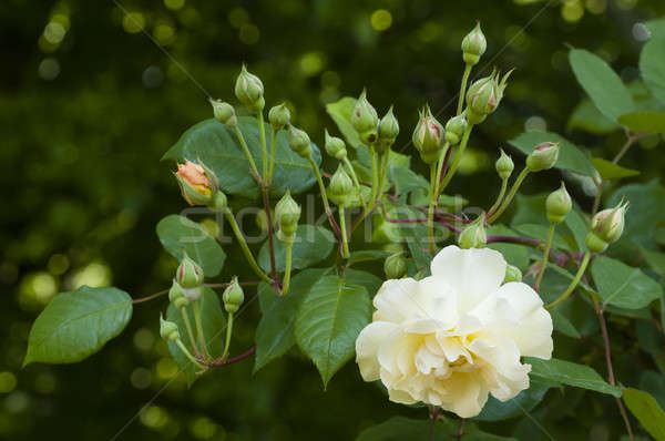 White yellow rose and buds Stock photo © AlessandroZocc