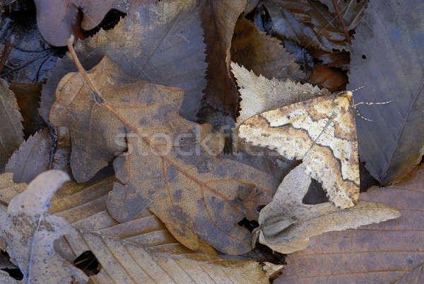 March 2008, Mantova, Biogenetic Reserve of Bosco della Fontana: Mimetic moth among dead leaves  Stock photo © AlessandroZocc