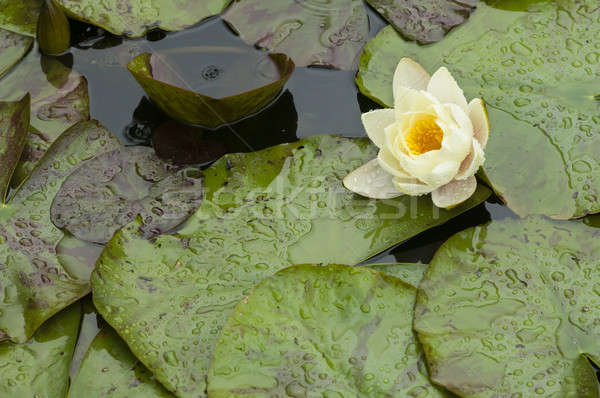 White and yellow waterlily Stock photo © AlessandroZocc