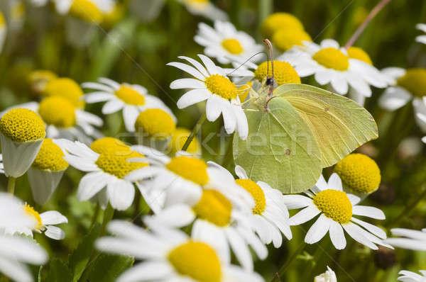 Champ de fleurs papillon soleil printemps jaune fleur Photo stock © AlessandroZocc