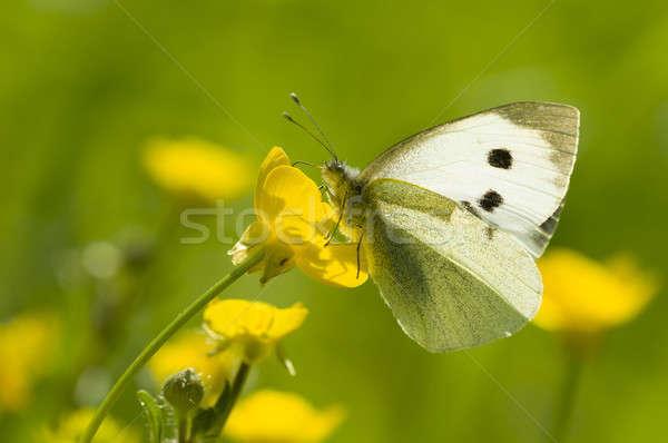 большой белый бабочка желтый цветок подсветка Сток-фото © AlessandroZocc
