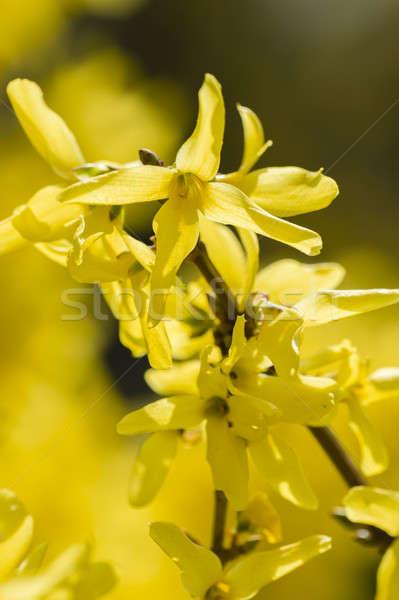 Forsythia yellow flowers Stock photo © AlessandroZocc